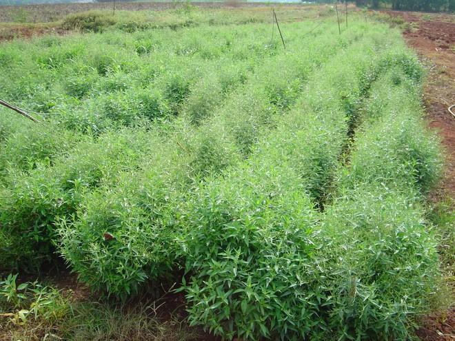 Loại thảo dược Thái Lan khẳng định chữa được Covid-19: Việt Nam cũng trồng nhiều - Ảnh 1.