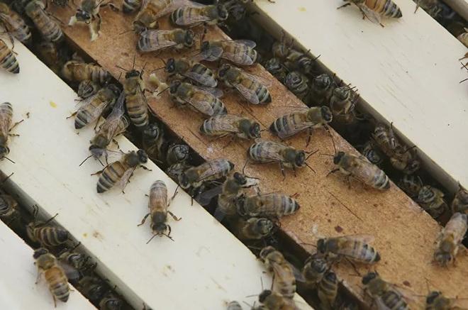 Mật ong Mỹ vẫn chứa bụi phóng xạ từ các vụ thử vũ khí hạt nhânnăm 50 - Ảnh 3.