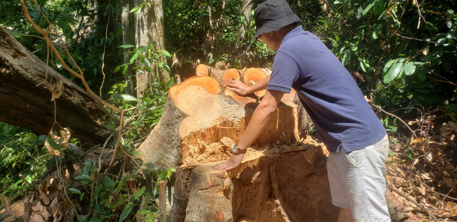 Phá rừng ở Thừa Thiên-Huế: Anh em chúng tôi làm đến xịt khói... - Ảnh 3.