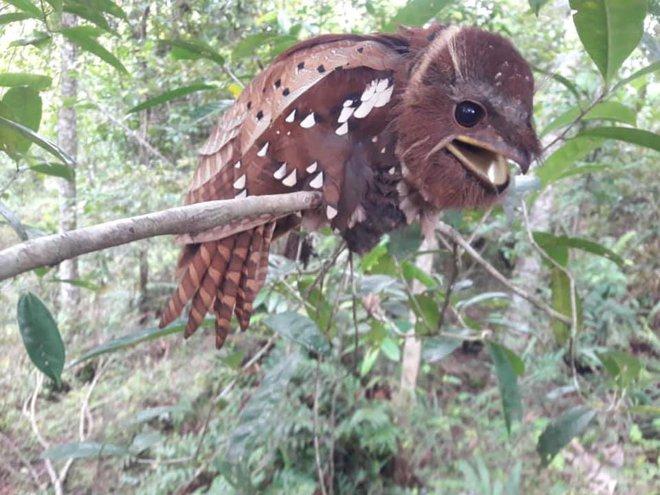 Loài chim kỳ dị ở Đông Nam Á: Sở hữu khuôn mặt kỳ dị, nếu bắt gặp trong đêm có thể khiến bạn khóc thét - Ảnh 1.