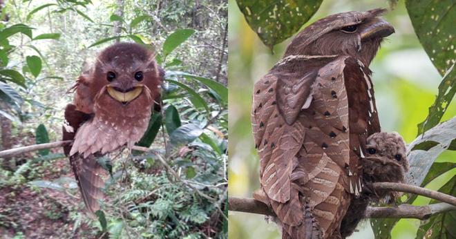 Loài chim kỳ dị ở Đông Nam Á: Sở hữu khuôn mặt kỳ dị, nếu bắt gặp trong đêm có thể khiến bạn khóc thét - Ảnh 3.
