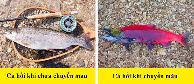 8 dấu hiệu nhận biết chọn mua cá tươi ngon: Cá hồi màu đẹp không hẳn đã tốt 001