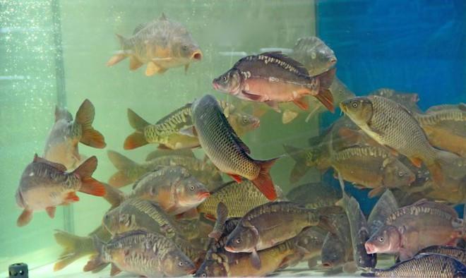 8 dấu hiệu nhận biết chọn mua cá tươi ngon: Cá hồi màu đẹp không hẳn đã tốt 004