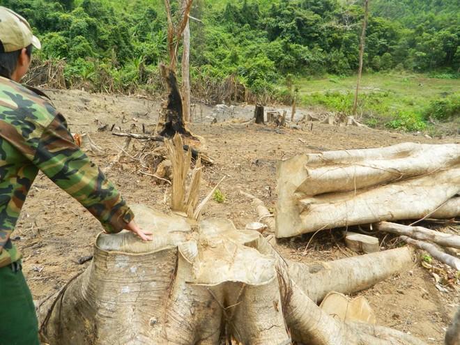 Rừng phòng hộ bị đốn hạ, chủ rừng không hay biết - Ảnh 1.