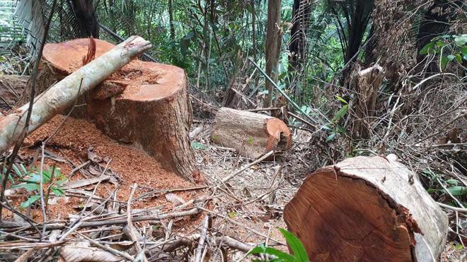 Rừng phòng hộ bị đốn hạ, chủ rừng không hay biết - Ảnh 3.