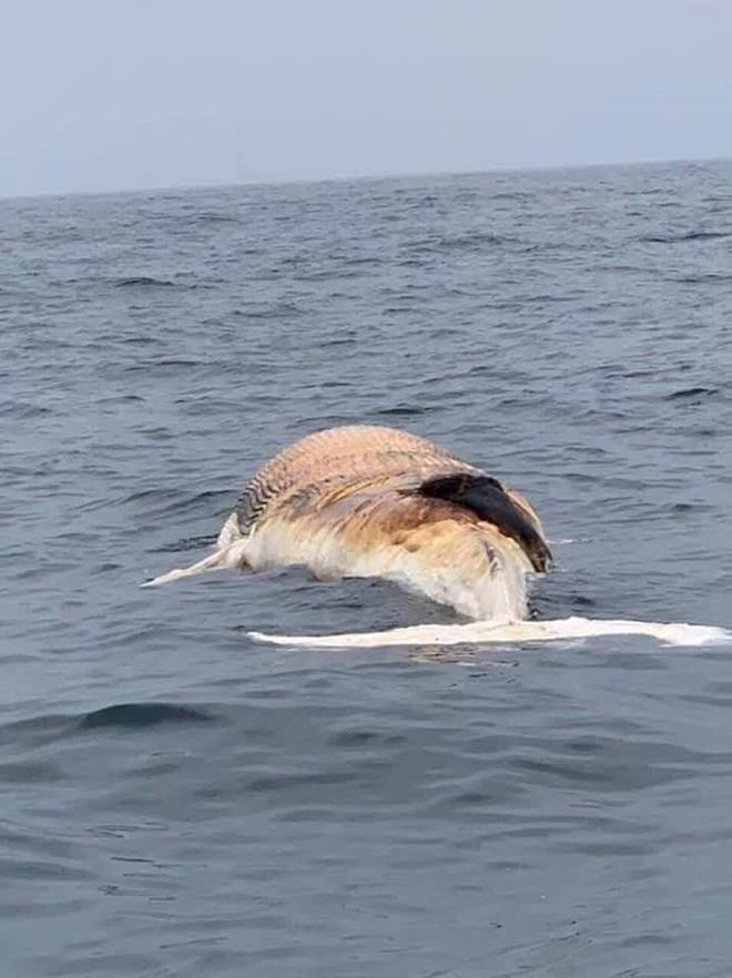 Những lần cá voi dạt vào vùng biển nước ta - con lớn nhất gấp 7 lần con ở Hải Phòng 001