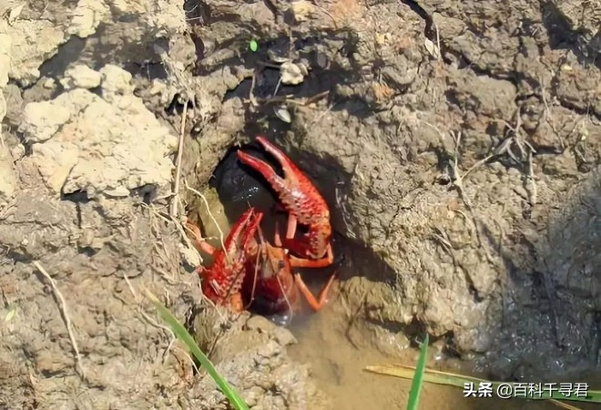 Một tỉnh ở Trung Quốc đã mất 10 năm chiến đấu với tôm hùm: Tôm hùm tràn lan khắp nơi nhưng không thể ăn, vì sao? - Ảnh 3.