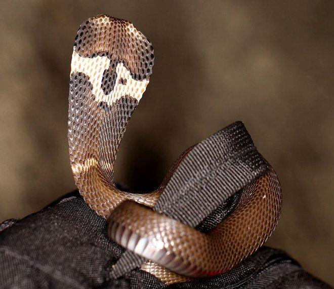 Những loài rắn hổ mang thực sự sống ở Việt Nam, tại sao không có hổ mang chúa? - Ảnh 2.