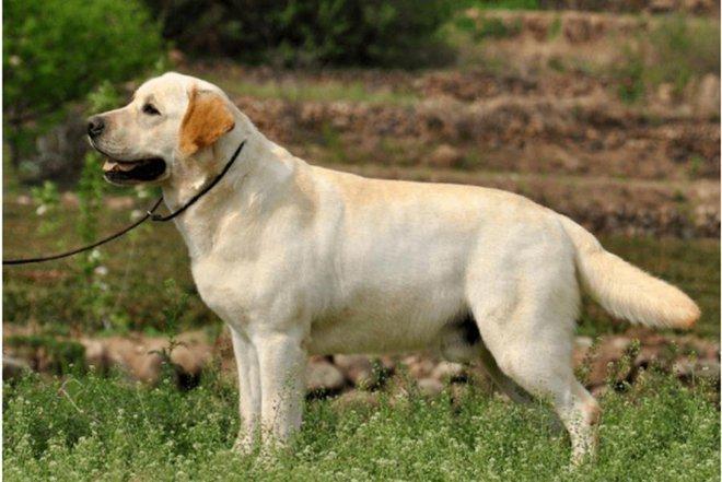 9 loài chó có tuổi thọ thấp nhất thế giới: Đừng nuôi vì bạn sẽ buồn khi chúng rời xa! - Ảnh 9.