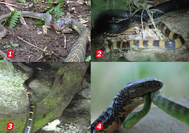 Tại sao hổ mang chúa không hề hấn gì khi bị các loài rắn độc cắn trả, nó có miễn nhiễm với nọc mọi loài rắn? - Ảnh 1.