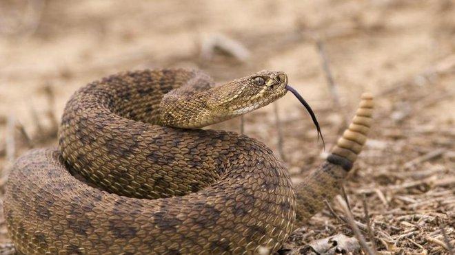 Tại sao hổ mang chúa không hề hấn gì khi bị các loài rắn độc cắn trả, nó có miễn nhiễm với nọc mọi loài rắn? - Ảnh 3.