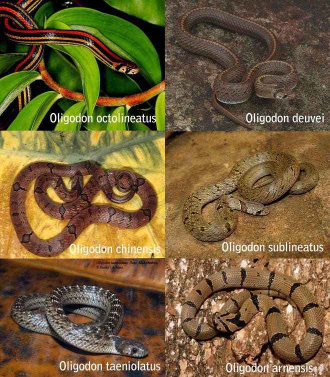 Thực hư loài rắn ngay tại Việt Nam cắn 1 phát phải đi tìm quả chuối chín để ăn, nếu muộn là chỉ được cúng chuối xanh! - Ảnh 2.