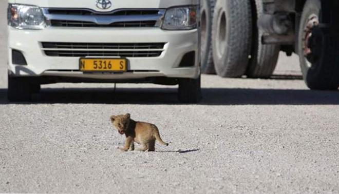 Sư tử cái dắt con băng qua đường, đang đi bỗng đứa con biến mất, quay lại thì thấy cảnh tượng này! - Ảnh 2.