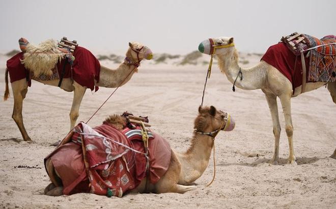 Lý do các nhà khoa học UAE tiêm virus SARS-CoV-2 vào lạc đà