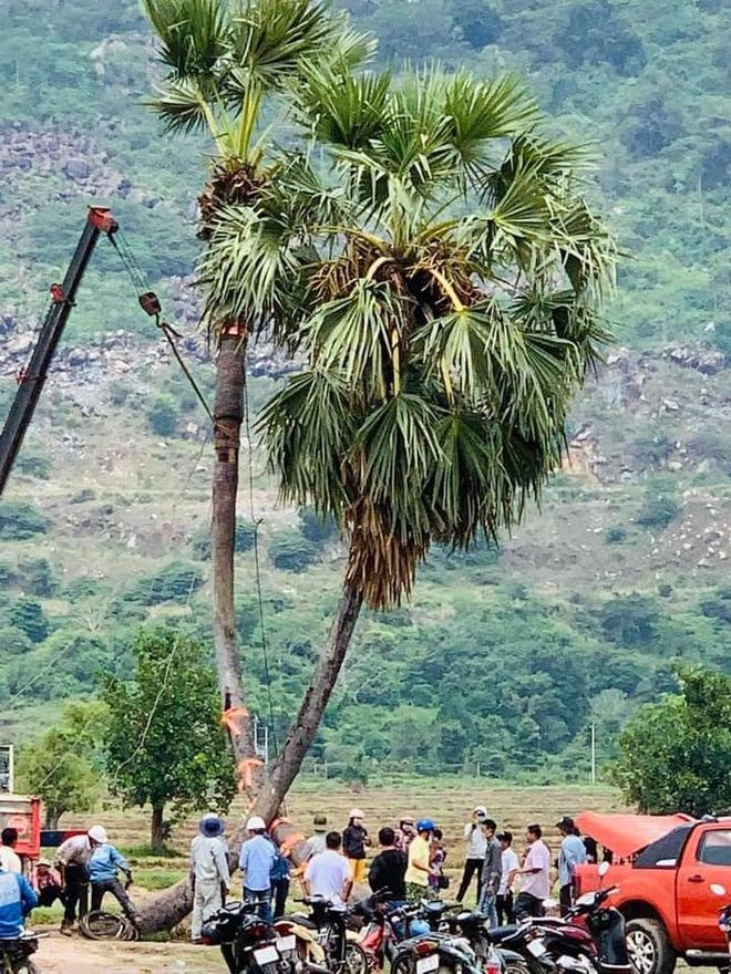 Cây thốt nốt tình yêu ở Tây Ninh gãy đổ và cách cấp cứu cực đỉnh ngay sau đó - Ảnh 6.