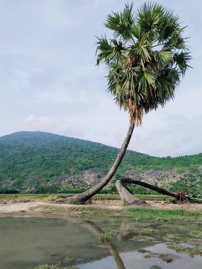 Cây thốt nốt tình yêu ở Tây Ninh gãy đổ và cách cấp cứu cực đỉnh ngay sau đó - Ảnh 3.