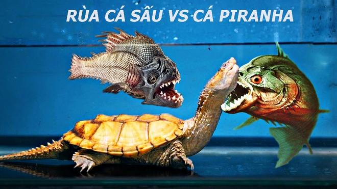 Rùa cá sấu răng đấu răng với cá Piranha, kẻ thua cuộc bị rỉa từng miếng thịt - Ảnh 1.