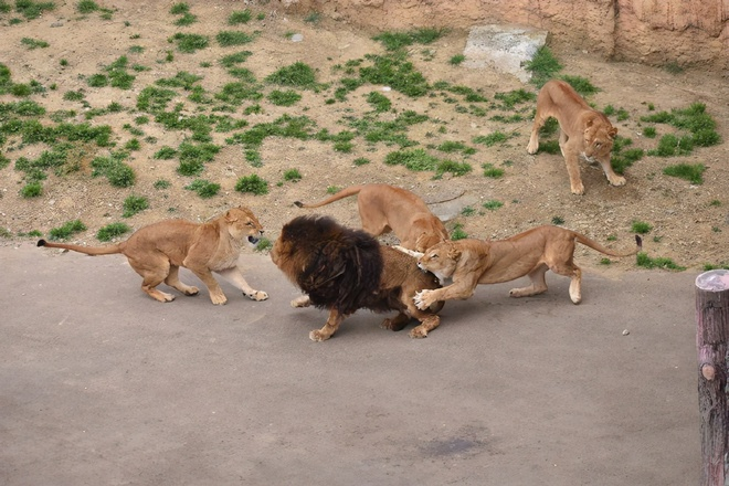 Đưa sư tử đực vào nhốt chung với bầy sư tử cái, đến khi quay lại, nhân viên sở thú không khỏi sốc trước những gì nhìn thấy - Ảnh 2.