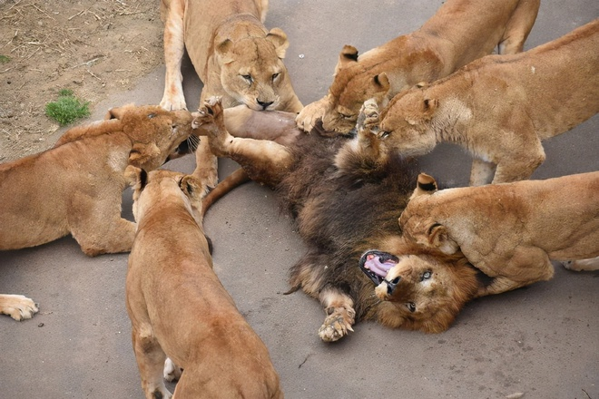 Đưa sư tử đực vào nhốt chung với bầy sư tử cái, đến khi quay lại, nhân viên sở thú không khỏi sốc trước những gì nhìn thấy - Ảnh 4.