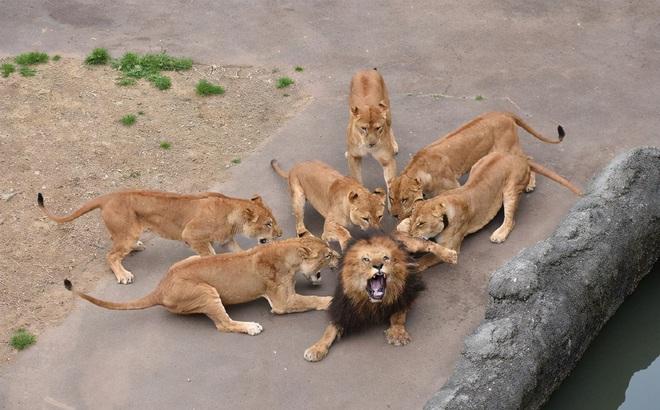 Đưa sư tử đực vào nhốt chung với bầy sư tử cái, đến khi quay lại, nhân viên sở thú không khỏi sốc trước những gì nhìn thấy