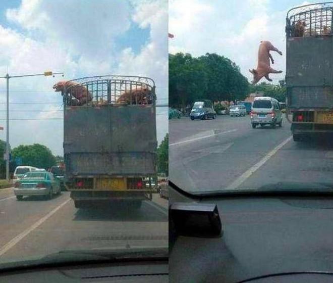 Đàn lợn lăn quay ra đường cao tốc, cảnh tượng trước khi xảy ra tai nạn khiến người đi đường không dám tin vào mắt mình - Ảnh 2.