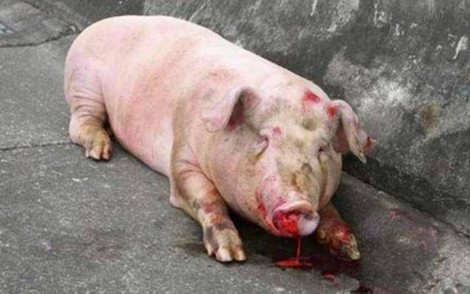 Đàn lợn lăn quay ra đường cao tốc, cảnh tượng trước khi xảy ra tai nạn khiến người đi đường không dám tin vào mắt mình - Ảnh 3.