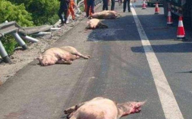"""Đàn lợn lăn quay ra đường cao tốc, cảnh tượng trước khi """"xảy ra tai nạn"""" khiến người đi đường không dám tin vào mắt mình"""