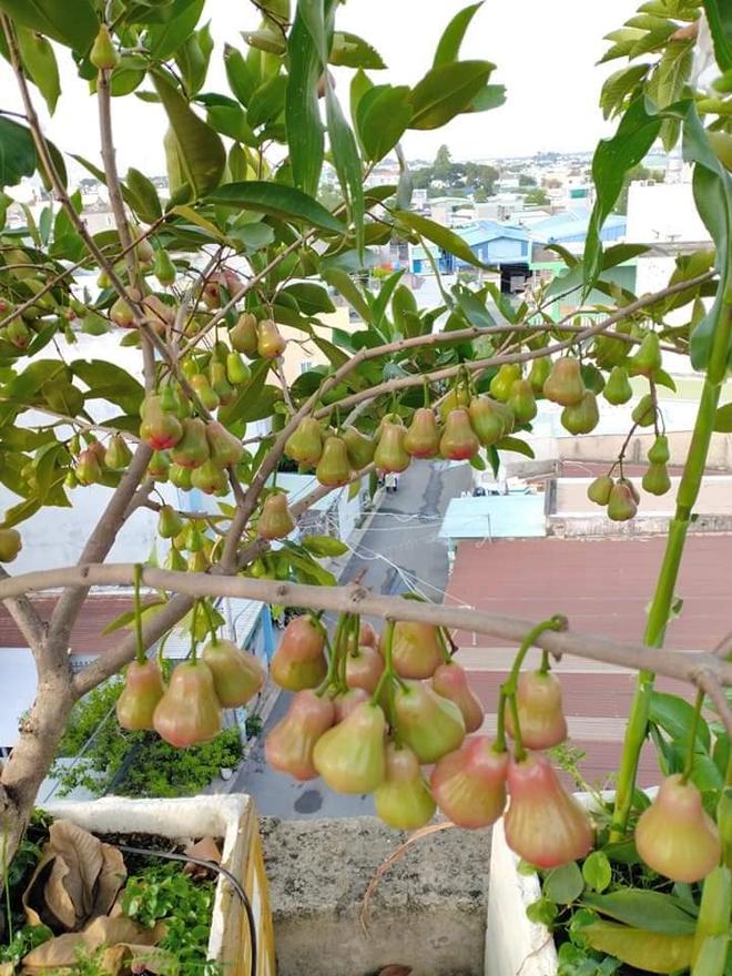 Sân thượng bé tẹo nhưng cô nàng vẫn biến được thành vườn cây trái có cả ổi, đu đủ, hồng xiêm, xoài..., ai nhìn cũng mê mẩn - ảnh 1