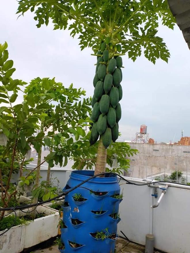 Sân thượng bé tẹo nhưng cô nàng vẫn biến được thành vườn cây trái có cả ổi, đu đủ, hồng xiêm, xoài..., ai nhìn cũng mê mẩn - ảnh 2
