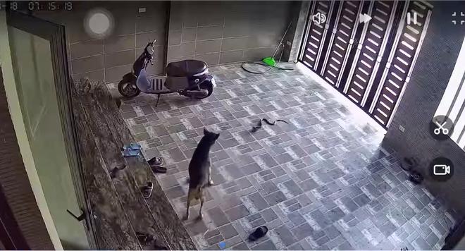 Kinh hãi con rắn lớn trườn nhanh vào nhà dân ở Nghệ An, tấn công chú chó - Ảnh 3.