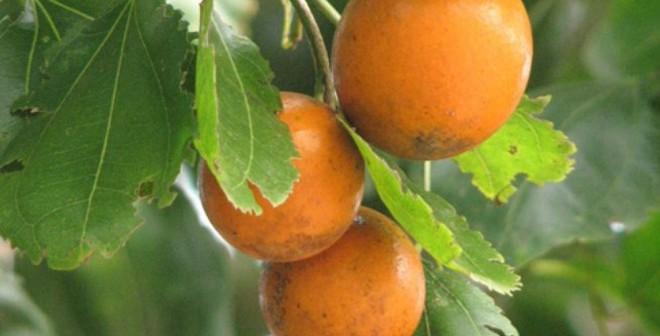 Những loại quả đẹp mắt nhưng chứa nhiều độc tố