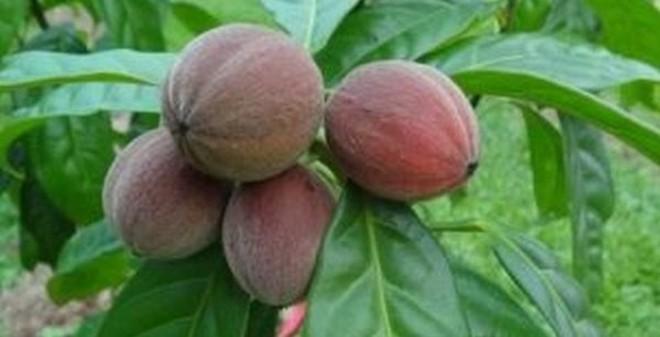 Phát hiện loại trái cây chữa được ung thư