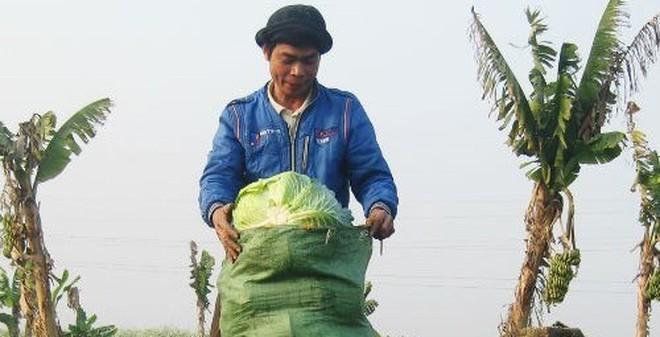 Chỉ 200, 500 đồng mỗi cây bắp cải, su hào tại vườn