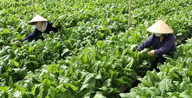Rau trồng theo chuẩn VietGap: Người trồng chỉ bán không dám ăn