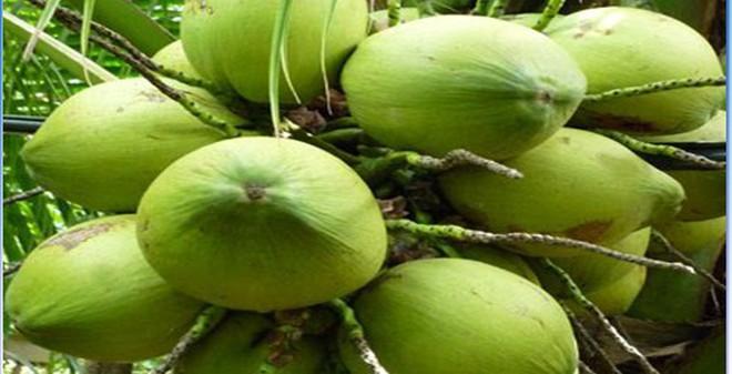 Chữa khỏi bệnh trĩ nặng bằng bài thuốc từ ba ba và quả dừa non