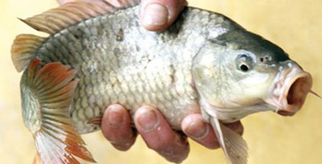Cá chép: Vị thuốc quý trị 5 chứng bệnh