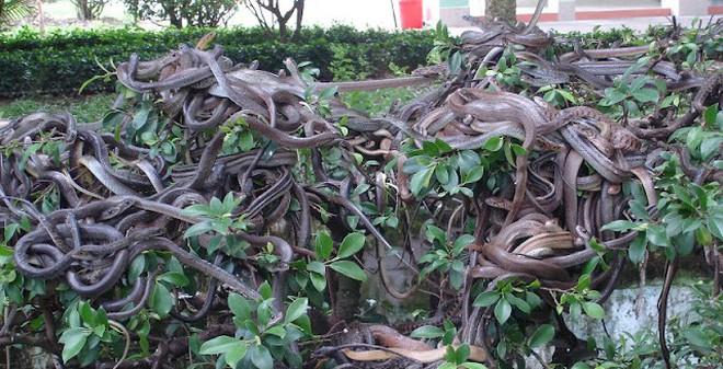 """Hàng trăm con rắn đu mình trên cây tại """"vương quốc"""" độc xà"""