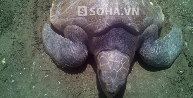 Rùa lạ nặng hơn 20kg mắc vào lưới ngư dân