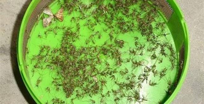 Mẹo làm bẫy bắt muỗi hiệu quả không ngờ