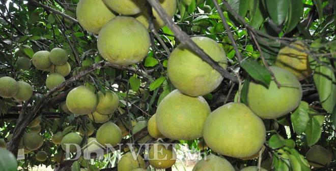 Chuyện lạ: Cây bưởi ra 800 quả ở Hòa Bình