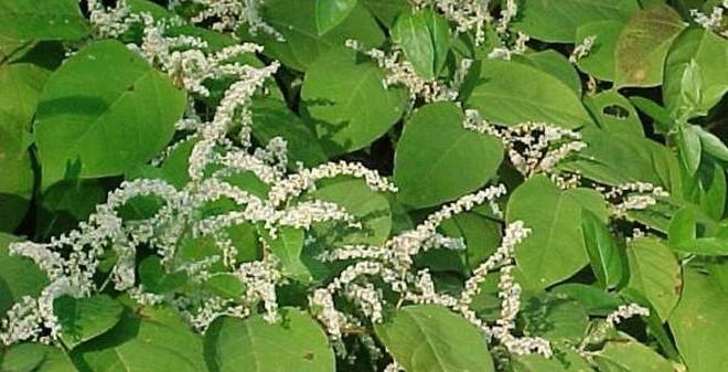 Bài thuốc chữa bệnh khớp hiệu quả từ cây cỏ mọc hoang ở Sa Pa