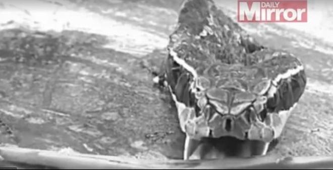 Rắn hổ mang bị chặt đầu vẫn cắn chết người