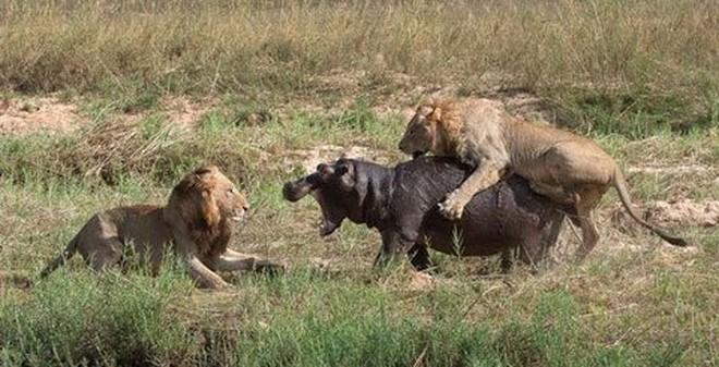 Thảm họa với đàn sư tử khi săn hà mã trong đêm