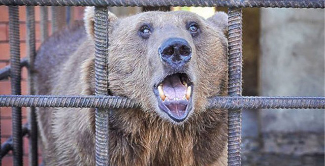 Gấu Nga ... nát rượu, phải đi cai nghiện ở Romania