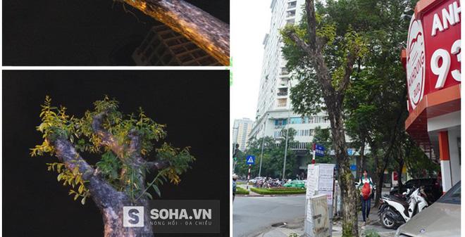 """Hà Nội: Cận cảnh cây """"lạ"""" khiến ông Trần Đăng Tuấn băn khoăn"""