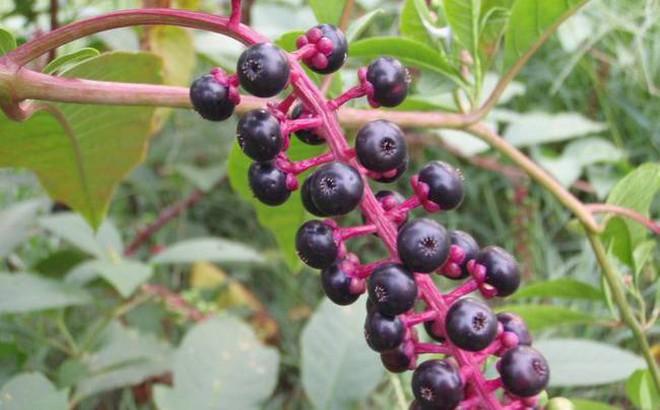 Bí kíp sinh tồn: Những loại quả tuyệt đối không ăn nếu lạc vào rừng