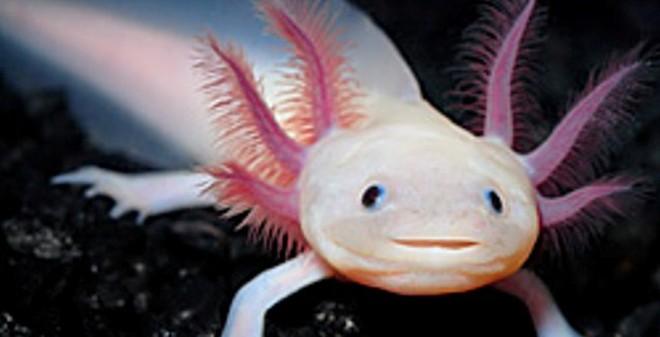 """Cận cảnh loài """"cá biết đi có khuôn mặt đẹp"""" xuất hiện ở VN"""