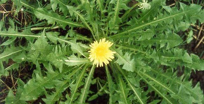 Xôn xao loại cỏ diệt ung thư có thể tìm thấy ở Việt Nam
