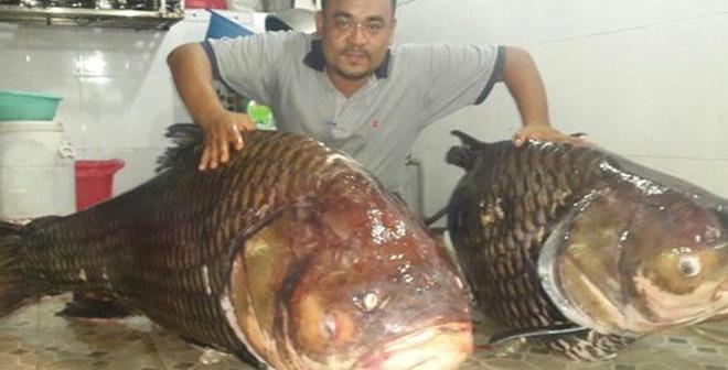 Cặp cá hô khủng từ Lào về Việt Nam