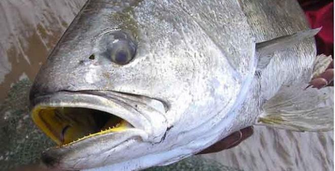 """Cận cảnh loài cá được mệnh danh là """"cục vàng biển"""" ở Việt Nam"""